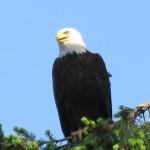 Eagle at Saratoga Beach Resort2
